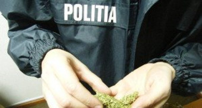 Percheziţii la traficanţi de cannabis