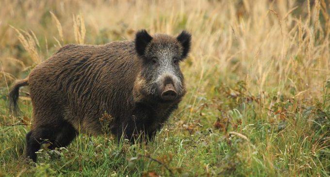 Porcii mistreţi au devastat peste 80% din culturile de la Şuşani. Localnicii fac nopţi albe lângă lanurile de porumb