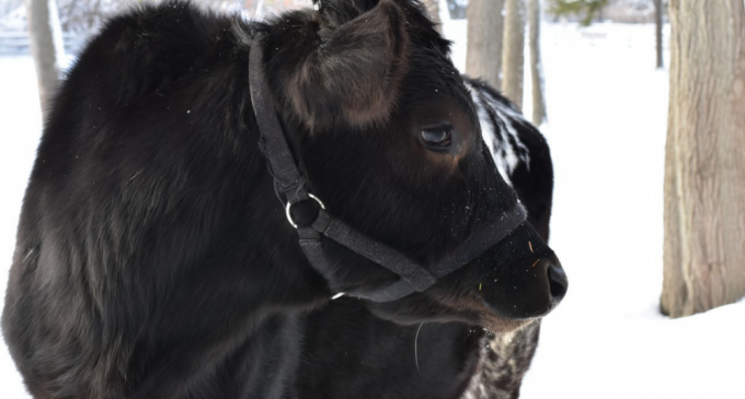 Pregătiri în fermă de vaci pentru sezonul rece