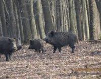 NU SE IMPUNE măsura sacrificării porcilor domestici din gospodăriile populației