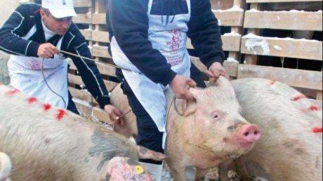 Al doilea caz de pestă porcină din judeţ a fost descoperit la Băbeni. Primarul Ștefan Bogdan îndeamnă populaţia la calm