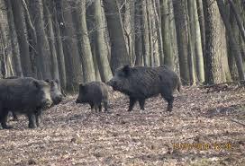 Pestă porcină africană confirmată la 9 porci mistreți găsiţi morţi pe fondurile de vânătoare  Dobrușa și Mitrofani